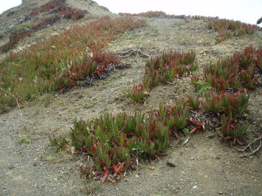 Succulents cling to the windy headland