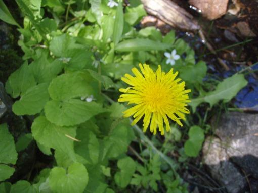 Dandelion habitat
