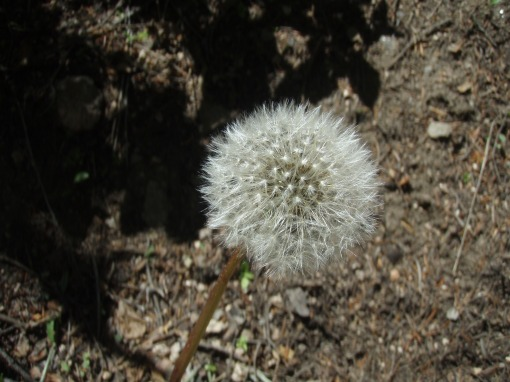 The dead dandelion - a symbol of so many things