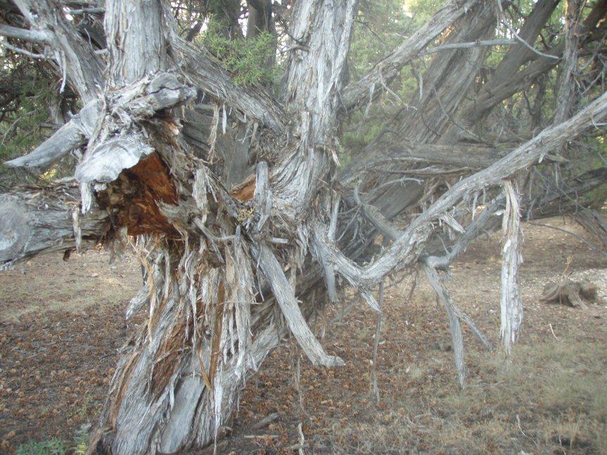 Marker #4 - Juniper Tree