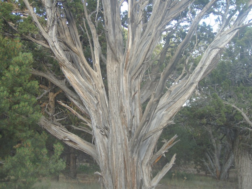 Like a snake, the juniper tree sheds its skin